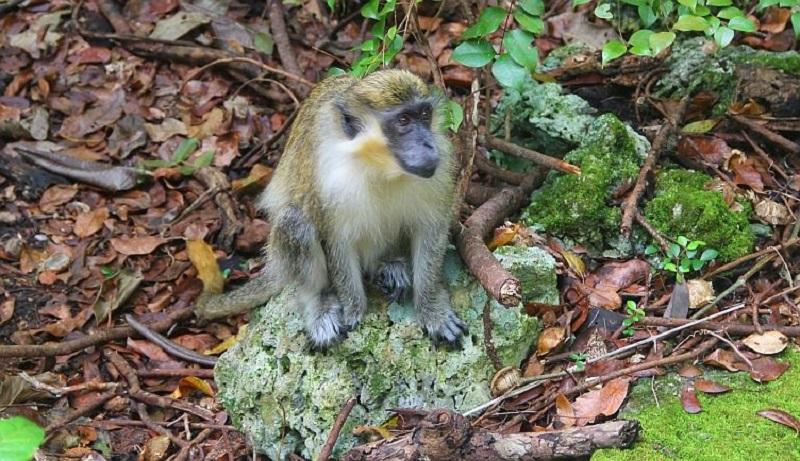 Barbados Grenade hall monkey
