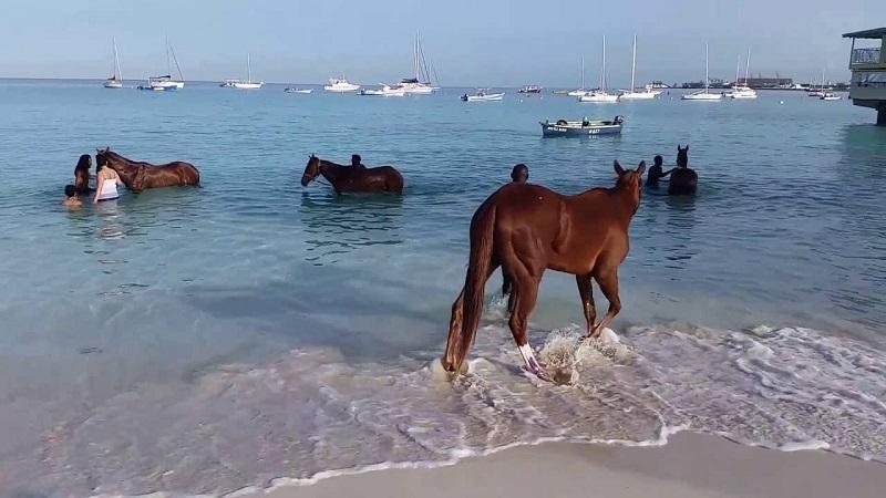 Barbados horses bathing