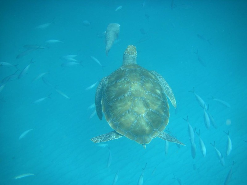 Barbados sea turtles